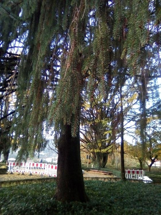 ABETO ROJO. Picea abies. Europa. Perenne. Florece en mayo. (Alameda: 19 m, 70 años). Paseo de la Herradura.