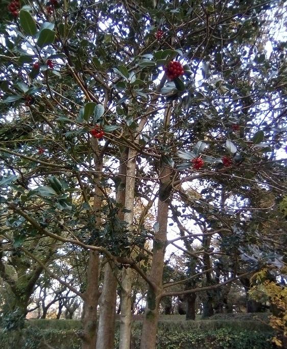 ACEBO. Ilex aquifolium. Europa occidental y meridional. Perenne. Alto valor biológico: Muy resistente al frío y la contaminación, alimenta aves. Especie protegida en Europa. Paseo de la Herradura.