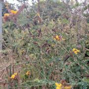 Adenocarpus Complicatus