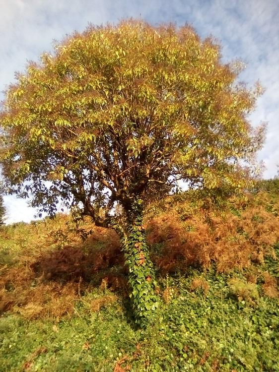 ALIGUSTRE DE CHINA. Ligustrum lucidum. China, Corea, Japón. Hoja perenne. Resistente. De 4 a 8 m. Frutos tóxicos. Paseo de la Herradura.