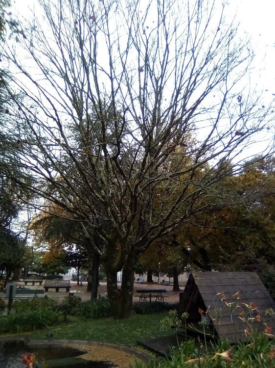 ARCE REAL. Acer pseudoplatanus. Asia, Europa. Caducifolio. Hasta 30m. Florece antes de tener hojas. Resistente a la contaminación. Atractivo para las abejas. Estanque Méndez Núñez.