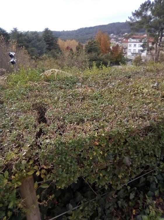 BOJ. Buxus Sempervirens. Europa, Norte de África, sureste de Asia. Arbusto de hoja perenne. Las hojas se desprenden del árbol sin amarillear.