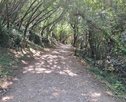 Camino Portugués entre los Arboles