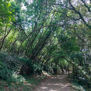 Camino Portugués un túnel de árboles