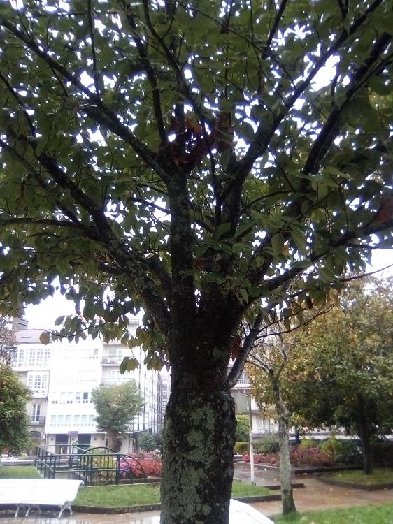 CEREZO JAPONÉS. Prunus serrulata. China y Corea. Caducifolio. Sólo vive unos 40 años. Vistosas flores. Campo de la Estrella.