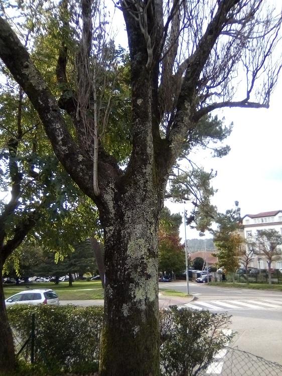 CHOPO BLANCO. Populus alba. Europa, Asia y Norte de África. Hoja caduca. Hasta 30m. Resistente a la contaminación y purificador del aire. Árbol de las fiestas de mayo en Europa. Causante de alergias. Paseo de la Herradura.