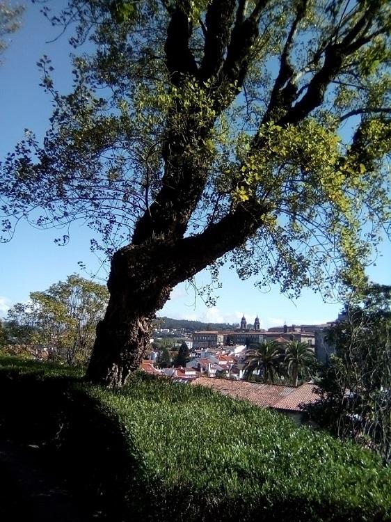 CHOPO NEGRO. Populus nigra. Europa. Amplia distribución por todo el mundo. Hoja caduca. Hasta 30 m. Paseo de los Leones.