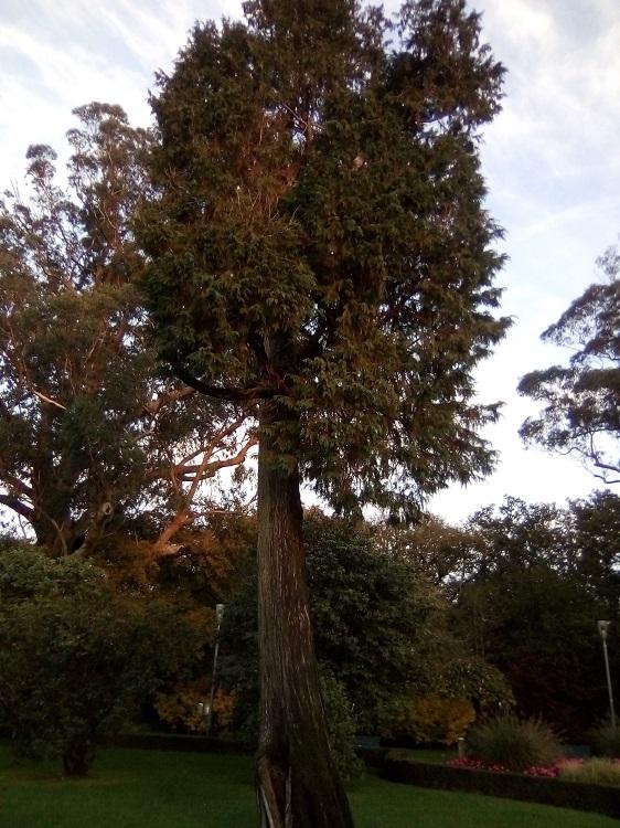CIPRÉS DE LAWSON. Chamaecyparis lawsoniana. EEUU. Hoja perenne. Hasta 500 años. Paseo de la Herradura (Gran ejemplar)