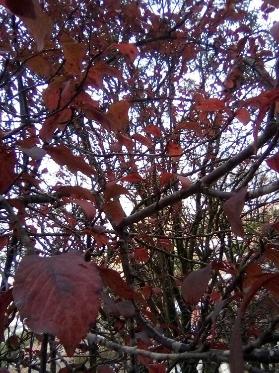 CIRUELO DE JAPÓN. Prunus cerasifera. Península de Crimea. Extendido por todo el mundo. Arbusto caducifolio de hasta 8 m. Florece a finales del invierno. Herradura.