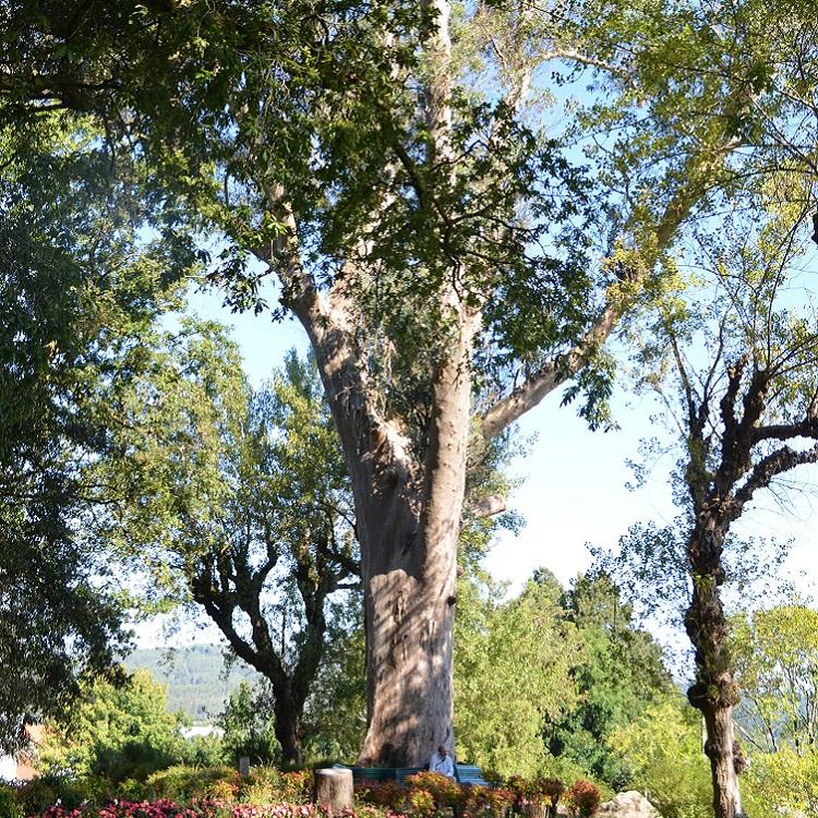El eucalipto de «los enamorados», árbol singular y monumental de Galicia