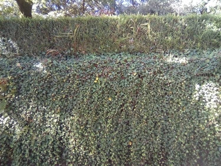 HIEDRA. Hedera hibernica. Europa cántabro-atlántica. Liana. Hoja perenne. En Galicia: silvestre, ligada a los robledales y otros bosques caducifolios.