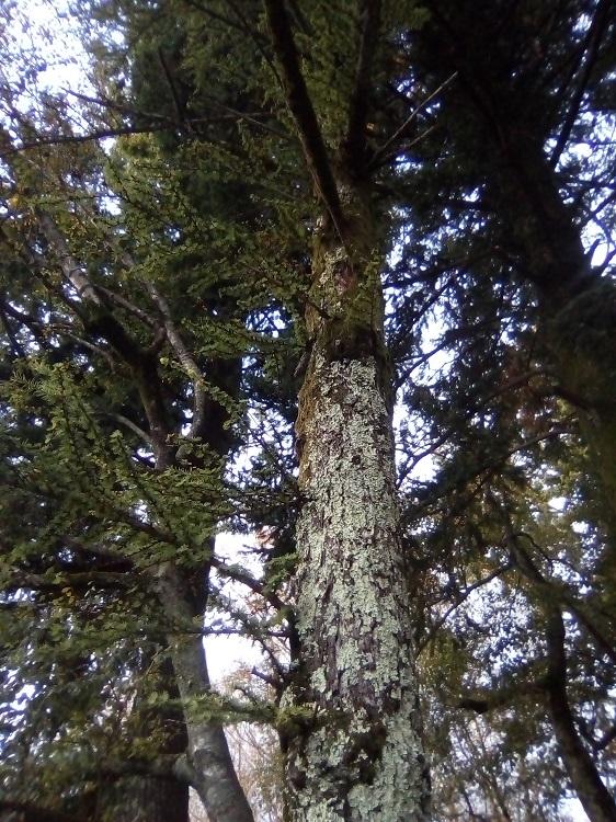 LÁRICE. Larix kaempferi. Japón. Caducifolio. Hasta 40 m. Muy resistente a la contaminación atmosférica. Paseo de la Herradura.