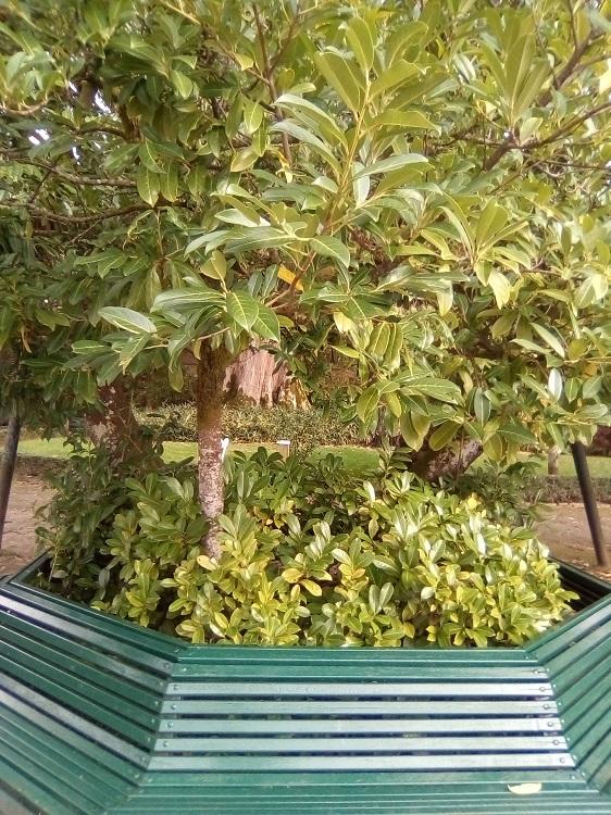 LAUREL CEREZO. Prunus laurocerasus. Sureste de Europa, Oriente Próximo. Árbol pequeño o arbusto. Hoja perenne. Puede florecer dos veces, en primavera y otoño. Tóxica. (Alameda: 4 m, 30 años). Paseo de la Herradura.