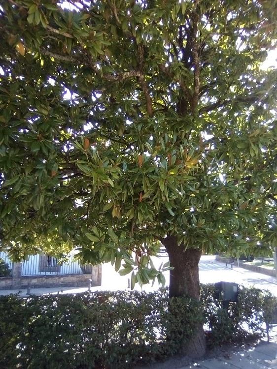 MAGNOLIO. Magnolia grandiflora. Muy antiguo. Extinguido en Europa, se trajo de América. Semi caducifolio. Hasta 500 años y 20 m. Grandes flores. Campo de la Estrella.