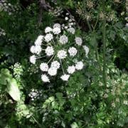Oenanthe crocata
