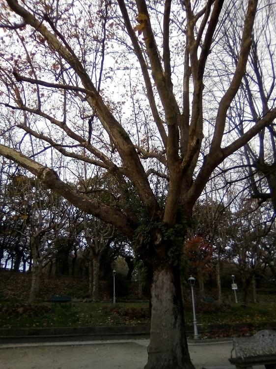PLÁTANO DE SOMBRA. Platanus x hispanica. Híbrido, aparece en España o sur de Francia. Caducifolio. Muy resistente a la contaminación. (Alameda: 120 años). Paseo Central, Herradura, Paseo de las Viudas.