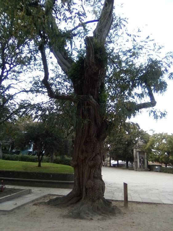 ROBINIA. Robinia pseudoacacia. EEUU. Caducifolia. Hasta 25 m. Florece a finales de primavera. Paseo Central.