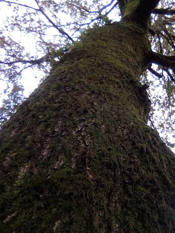 ROBLE CARRASQUEÑO. Quercus faginea. Península Ibérica-N. África. Hasta 25 m. Semi caducifolio. Las hojas permanecen secas sobre la planta (marcescencia). Carballeira de Santa Susana.
