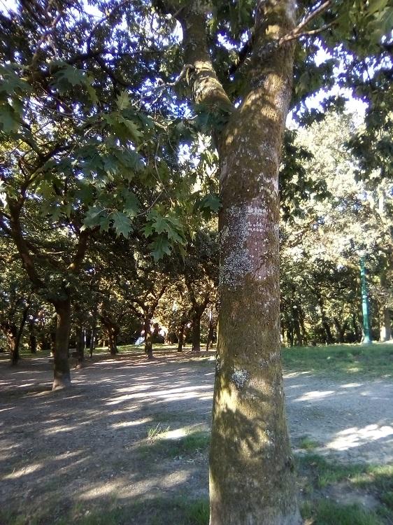 ROBLE ROJO. Quercus rubra. América del Norte. Caducifolio. Hasta 45 m y 200 años. Carballeira de Santa Susana.
