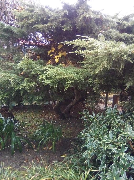 SABINA CHINA. Juniperus chinensis. Este de Asia. Hoja perenne. Hasta 20 m. Origen de la ginebra. Estanque de Méndez Núñez.