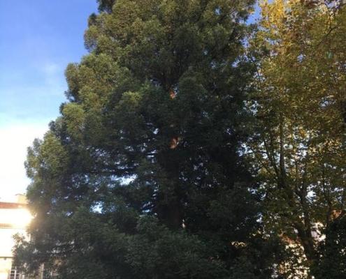 SECUOYA ROJA. Sequoia sempervirens. América. Hoja perenne. (Alameda: 24 m, 100 años). Puede vivir hasta 2000 años. Campo de la Estrella.