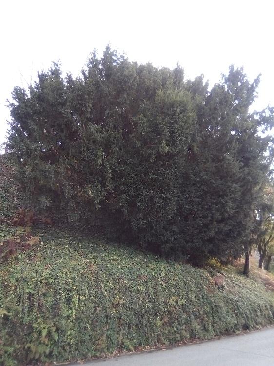 TEJO. Taxus baccata. Muy antiguo. África. Hasta 15 m. Árbol del tejón. Venenoso. Paseo de la Herradura.
