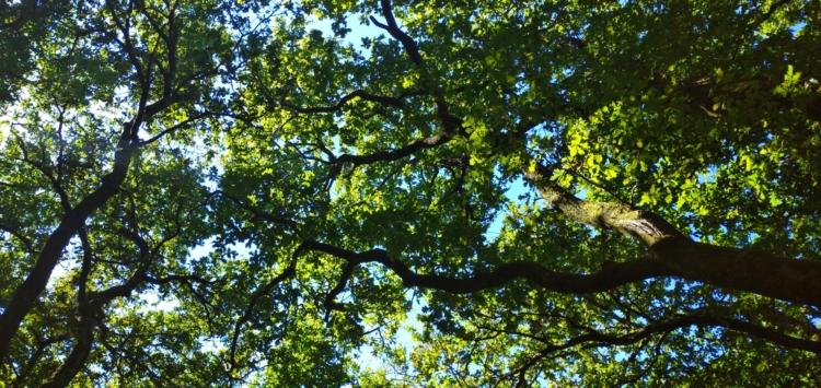 Vista tomada desde o chan enfocando ás pólas superiores das árbores que forman unha especie de teito natural